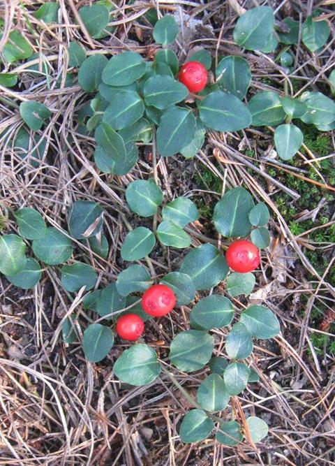 partridge berry ground cover--red berries with small green leaves