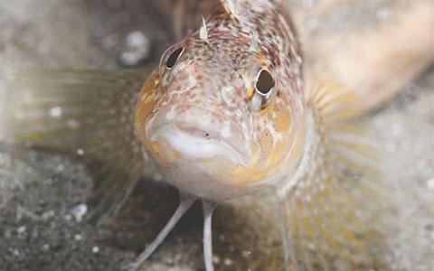Estuarine triplefin.