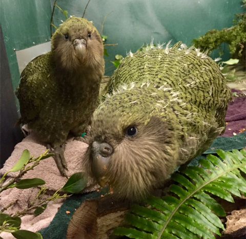 Hand-reared kākāpō chicks Sue1 & Nora1