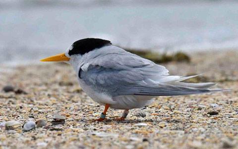 Fairy Tern.