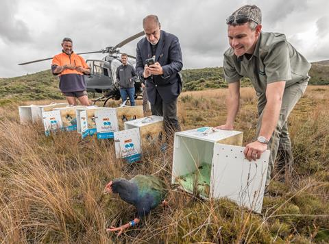Takahēbeing released into Gouland Downs, Kahurangi National Park- March 2018. Photo by D. Hegg