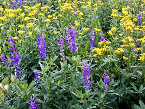 Purple and yellow wildflowers bloom in a vibrant green meadow.