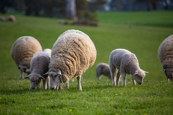 sheep in paddock livestock farm monitor project