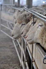 a picture of sheep at the livestock yards near Bendigo