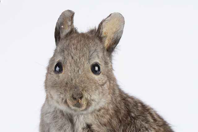 Banded Hare-wallaby. Photo: Anne Ferran.