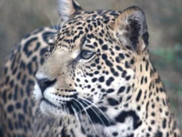 Jaguar. © Silvia Centron.