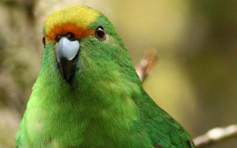 Orange-fronted parakeet/ kākāriki karaka.