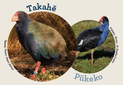 Takahē - pūkeko comparison.  Image by DOC