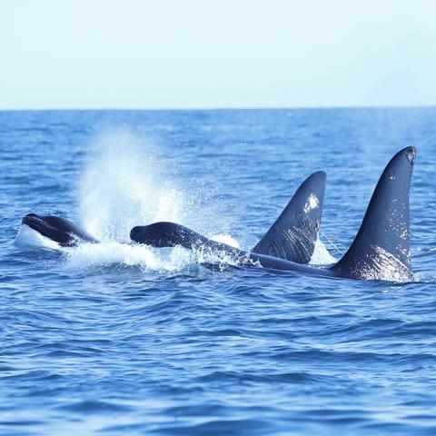 UK orcas