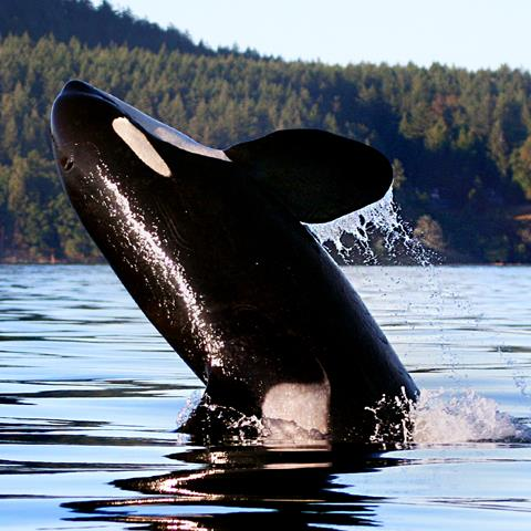 A orca leaps