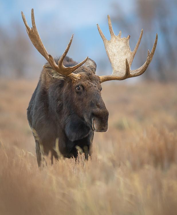 Jackson Hole Photography Tours - Grand Teton - Moose