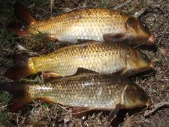 Three brownish koi carp